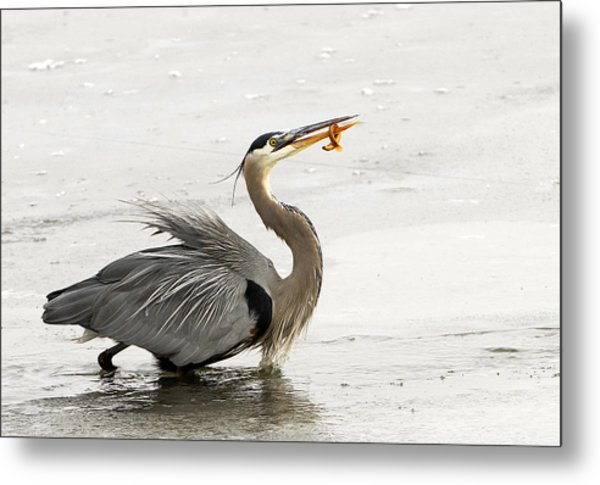 Great Blue Heron With Leech Metal Print by Dennis Hammer