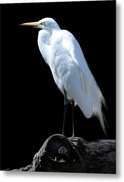 Great Egret Metal Print by Keith Lovejoy