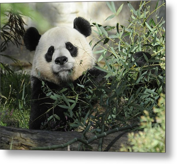 Great Panda Metal Print by Keith Lovejoy