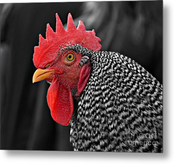 Handsome Plymouth Rock Rooster Metal Print