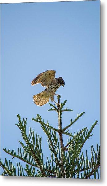 Hawk With Regal Landing Metal Print