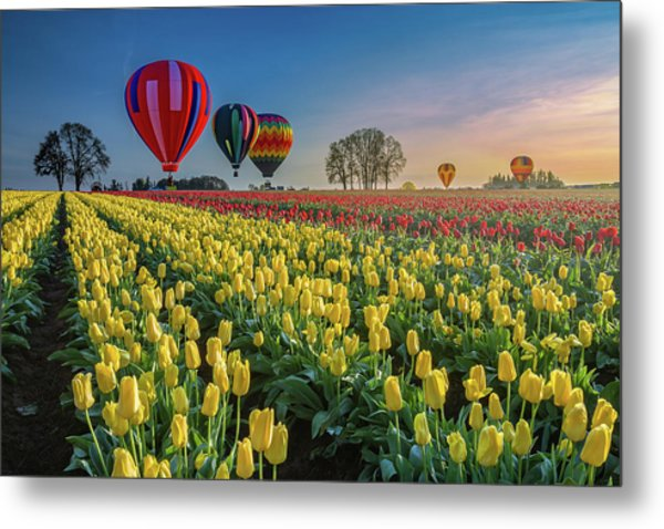Hot Air Balloons Over Tulip Fields Metal Print