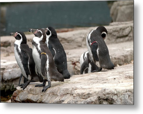 Humboldt Penguins Metal Print