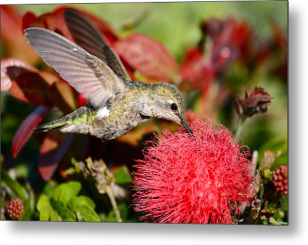 Hummingbird And Red Flower Metal Print
