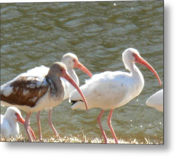 Ibis Flock With Spotted Juvenile Metal Print