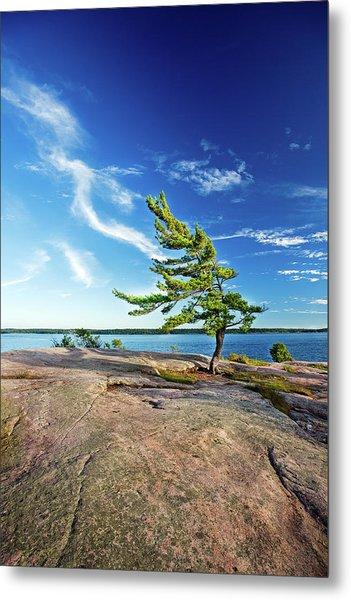 Iconic Windswept Pine Metal Print