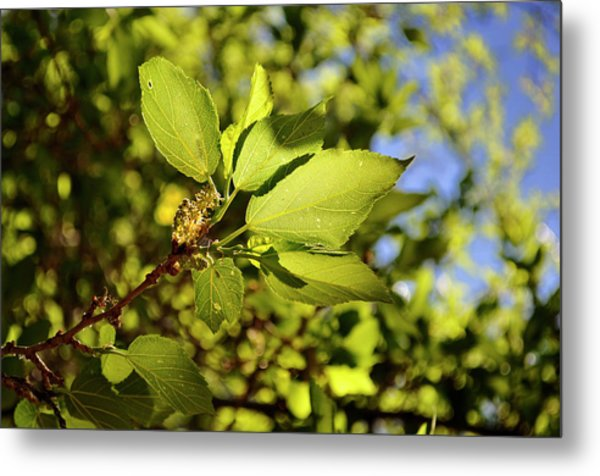 Illuminated Leaves Metal Print