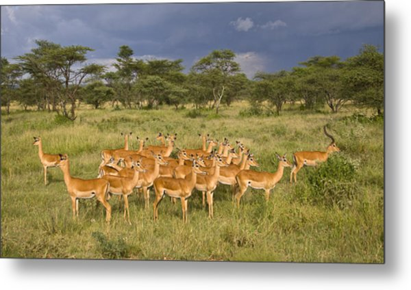 Impala Herd - Serengeti Plains Metal Print
