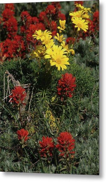 Indian Paintbrush And Sea Dahlia Blooming Metal Print