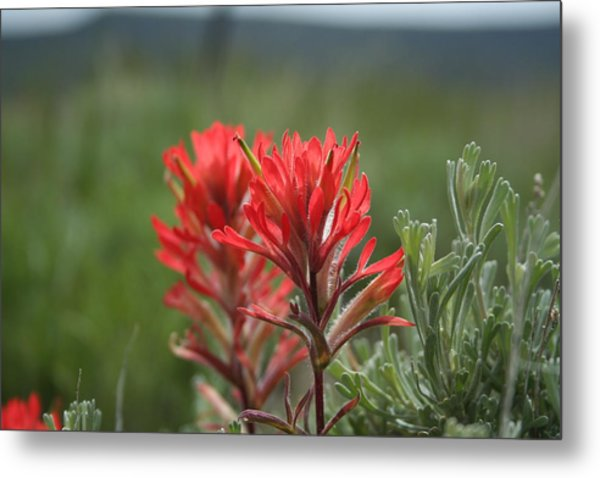 Indian Paintbrush Metal Print by Susan Pedrini