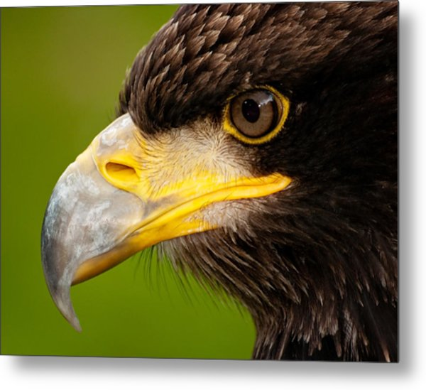 Intense Gaze Of A Golden Eagle Metal Print