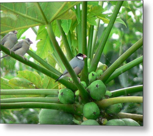 Java Sparrows Metal Print by Don Lindemann
