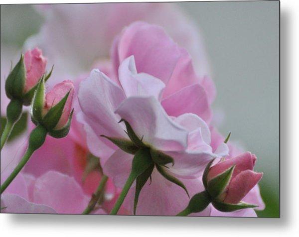 June Roses 1 Metal Print