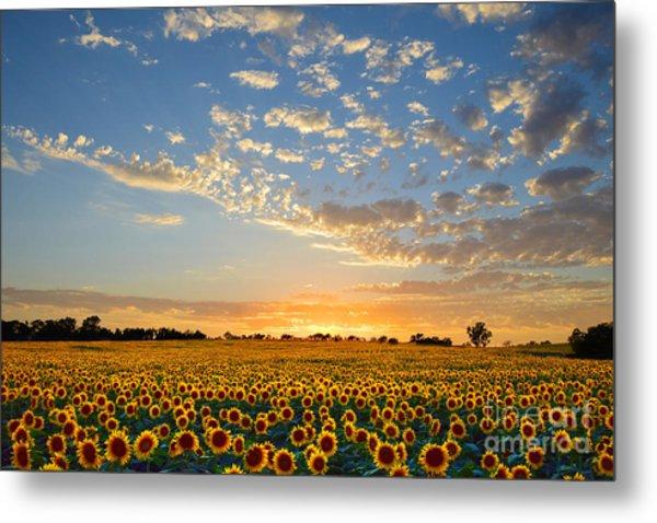 Kansas Sunflowers At Sunset Metal Print