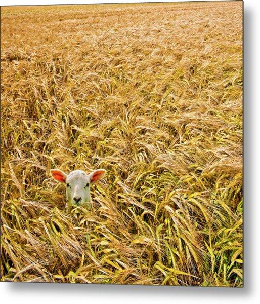 Lamb With Barley Metal Print