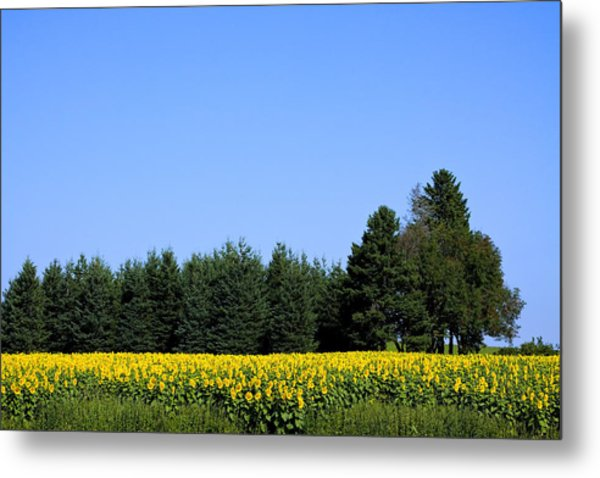 Land Of Sunflowers Metal Print by Gary Smith
