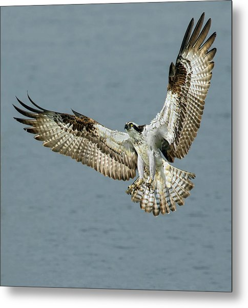 Osprey Approach Metal Print