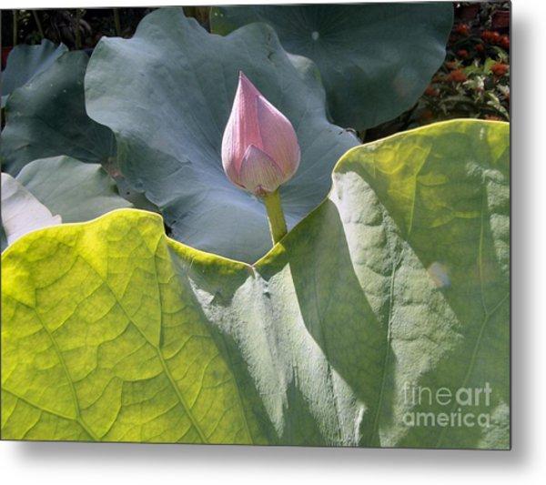 Large Pink Chinese Lotus Bud Metal Print by Kathy Daxon