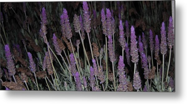 Lavender At Night Metal Print by Jean Booth