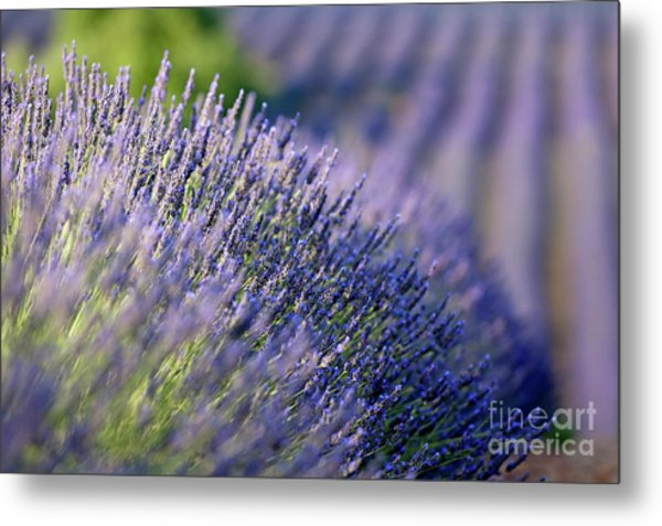 Lavender Flowers In A Field Metal Print by Sami Sarkis