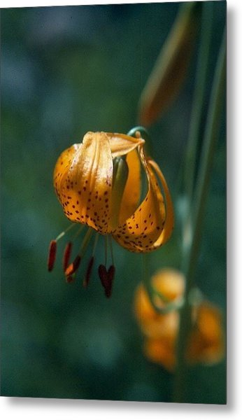 Leopard Lilly Metal Print by Chris Gudger
