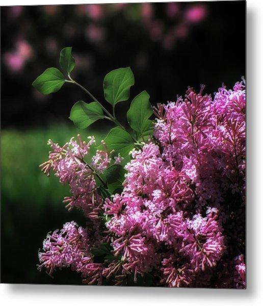 Lilacs In Bloom Metal Print