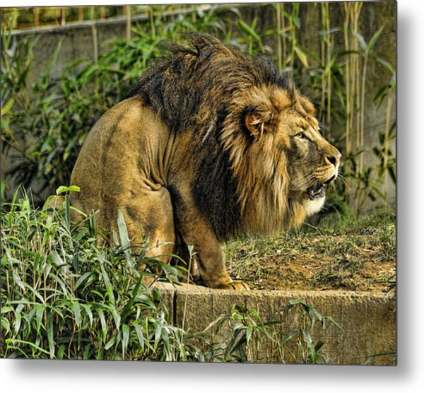 Lion Calling Females Metal Print by Keith Lovejoy