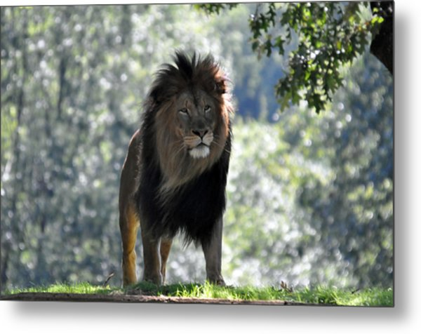 Lion Series 3 Metal Print by Teresa Blanton
