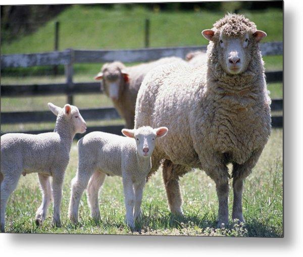 Little Lambs Metal Print