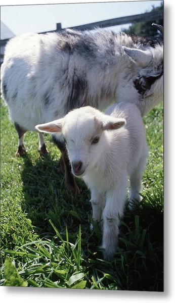 Little White Goat Metal Print