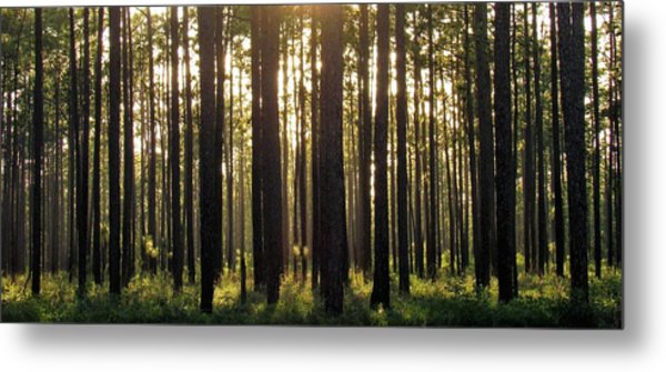 Longleaf Pine Forest Metal Print