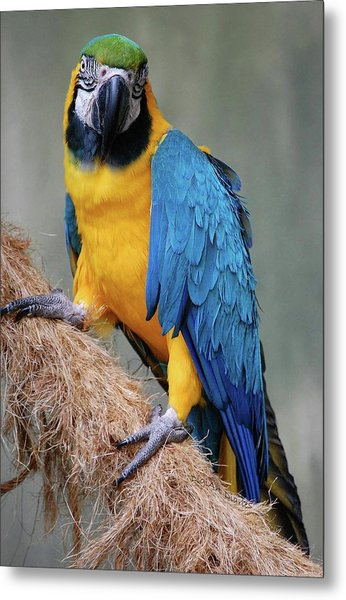 Magnificent Macaw Metal Print