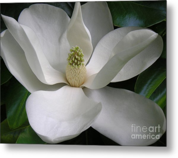 Magnolia Taking In The Light Metal Print by Lucyna A M Green