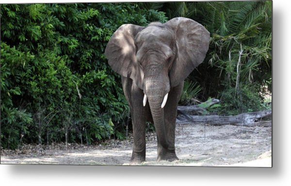 Majestic African Elephant Metal Print
