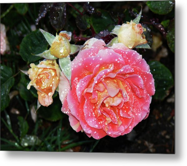Mango Rose Metal Print
