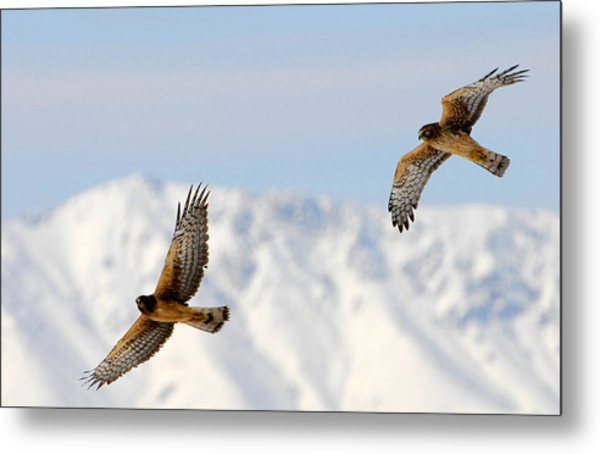 Mating Pair Harrier Hawks Metal Print by Dennis Hammer