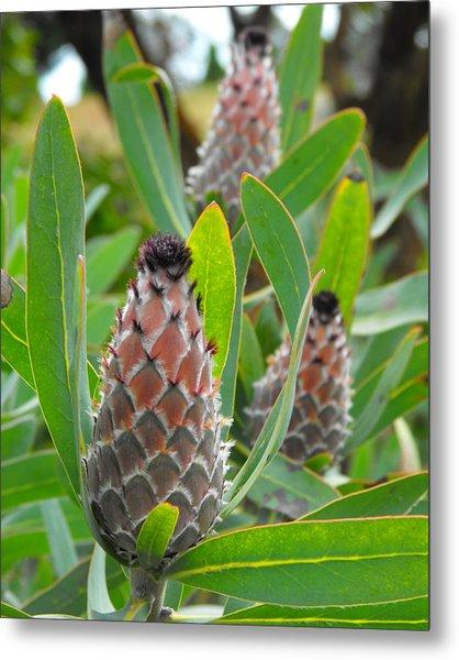 Mink Protea Flower Metal Print