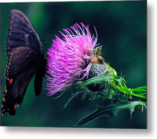 Monarch Butterfly On Milk Thistle Metal Print