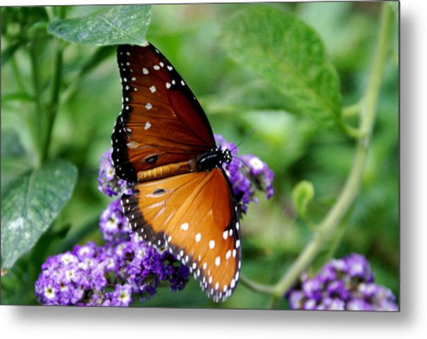 Monarch Butterfly Metal Print by Sonja Anderson