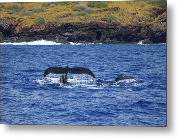 Mother And Calf Whaletails Metal Print