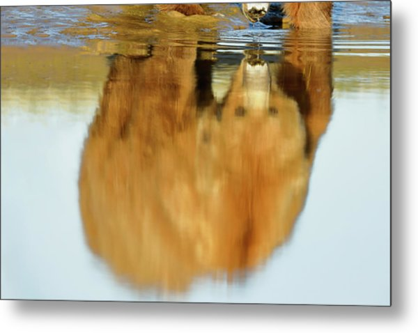 Mother Grizzly Reflection Metal Print