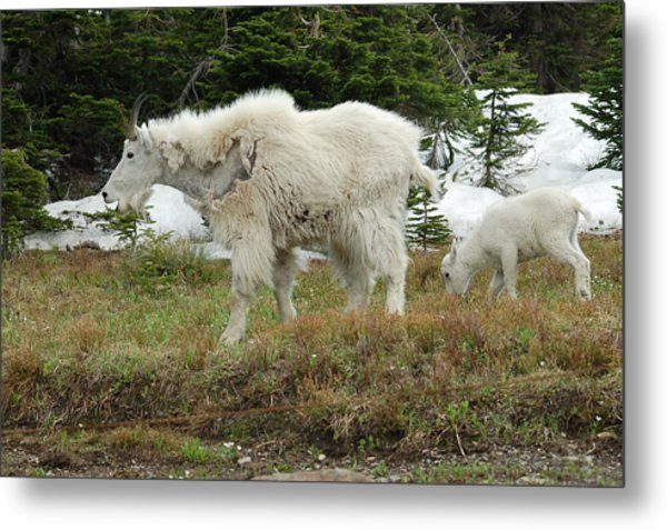 Mountain Goat Mom And Baby Metal Print by D Nigon