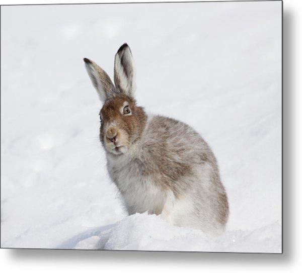 Mountain Hare In Winter Metal Print