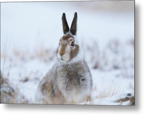 Mountain Hare - Scotland Metal Print