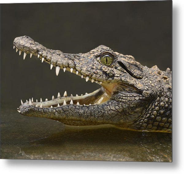 Nile Crocodile Metal Print