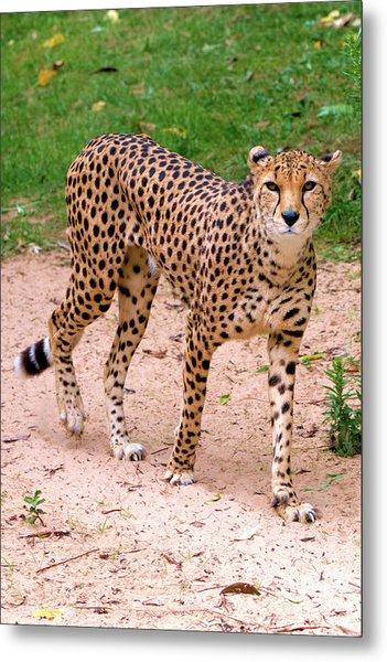 North African Cheetah Metal Print