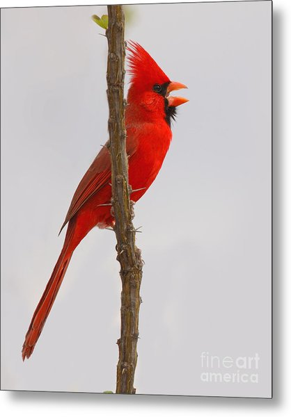 Northern Cardinal Proclaiming Spring Territory Metal Print