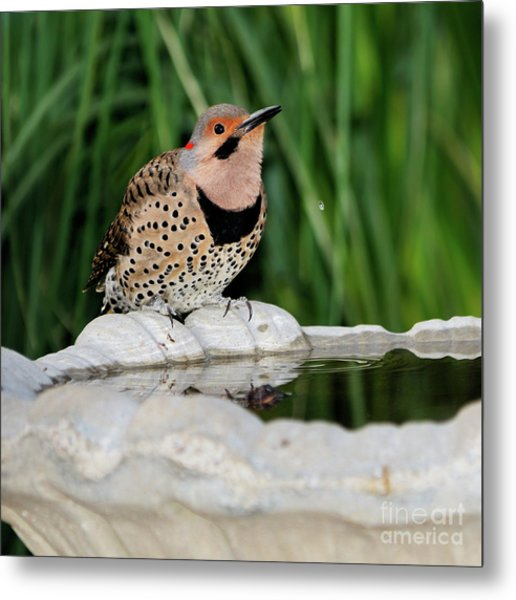 Northern Flicker Drinking Metal Print