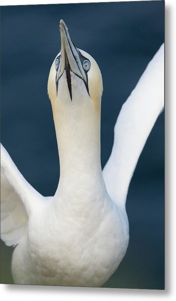 Northern Gannet Stretching Its Wings Metal Print