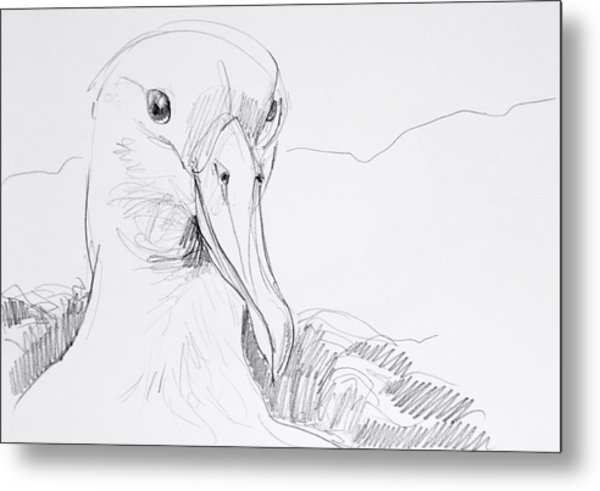 Northern Royal Albatross Metal Print
